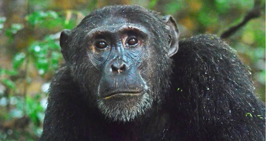 2 Days Kibale Chimpanzee Trekking Safari