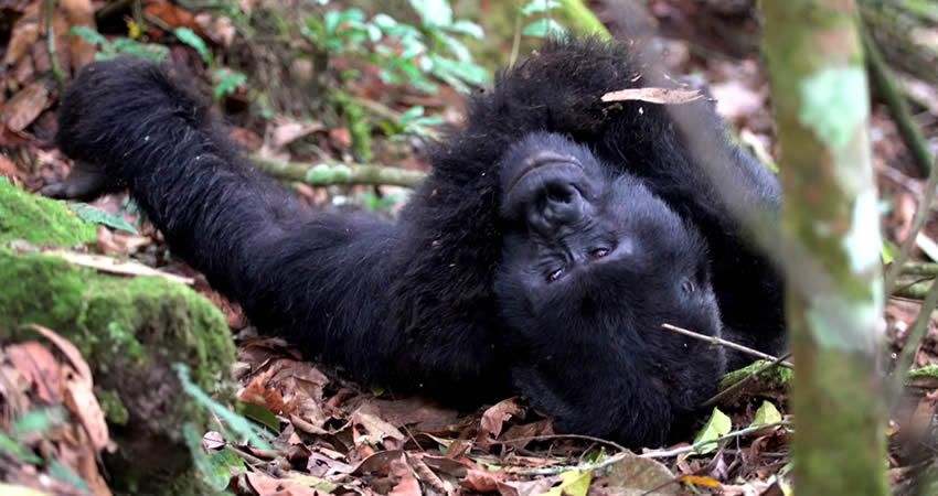 7 Best Primate Tracking Destinations In Uganda & Rwanda