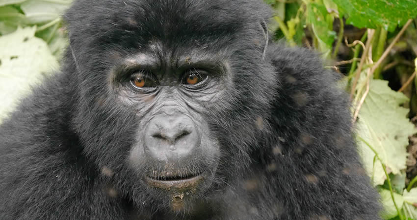 5 Days Rwanda Gorilla and Chimpanzee Trekking Safari